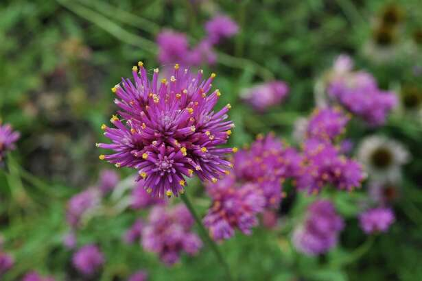 'Fireworks' gomphrena is one of the nectar plants available at the Cockrell Butterfly Center's sale Saturday.