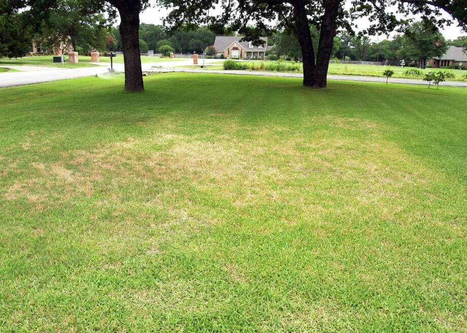 Left untreated for even a week, chinch bugs quickly kill grass. Photo: Courtesy Photo