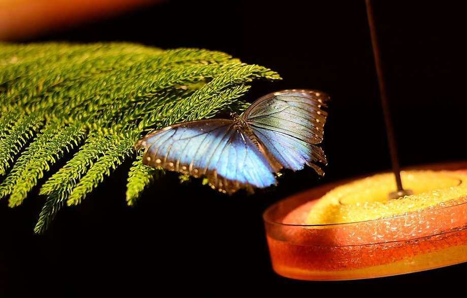 A butterfly restson a branch besides a feeder in the butterfly conservatory of the American Natural History Museum. Photo: Emmanuel Dunand, AFP/Getty Images