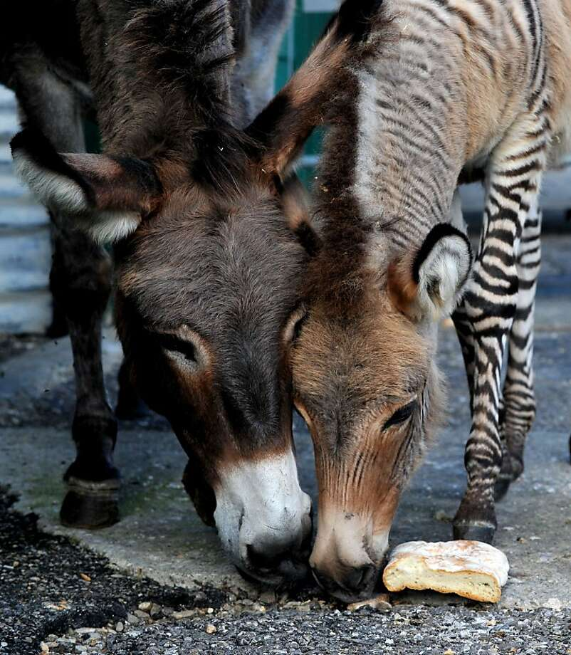 It's a assbra! No, it's a zonkey! Perhaps a zebray?Whatever you call him, Ippo has his mother's ears and his dad's stripes. He lives on a reserve in Florence, Italy. Photo: Tiziana Fabi, AFP/Getty Images
