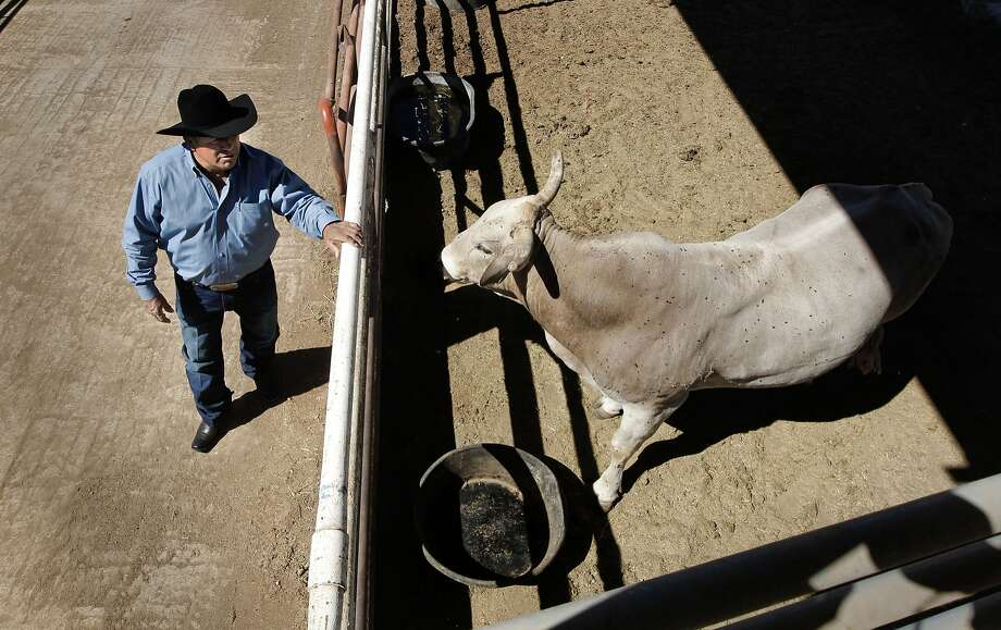 "Julio Moreno, on Thursday Sept. 26,2013, with his bucking bull ""Mr. Bull"" the number one bull in California, at his ranch in Oakdale, Calif. Moreno raises possible the best rodeo bucking bulls in the world at his ranch in the Central Valley. Photo: Michael Macor, The Chronicle"