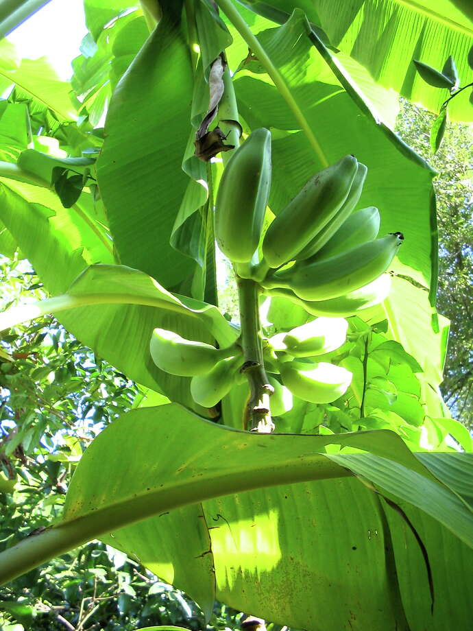 The Orinoco (Burro/Burra) banana has fewer but thicker bananas than the Blue Java.