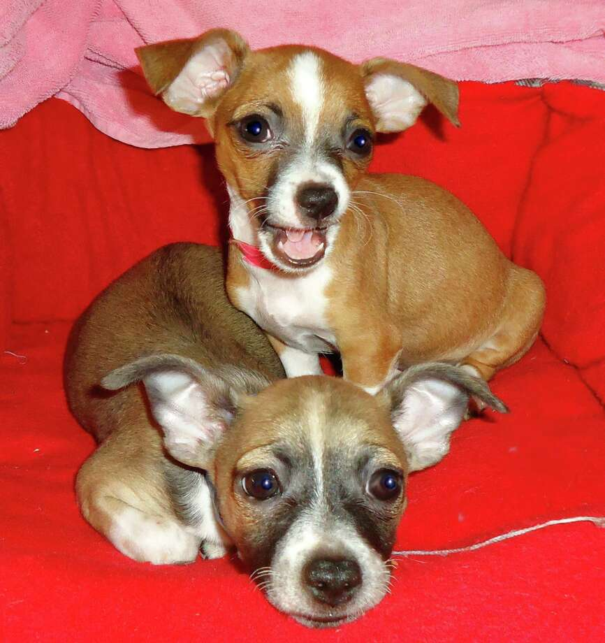 Bobby and Sweetie Pie, a brother and sister pair, are up for adoption at Citizens for Animal Protection Photo: --