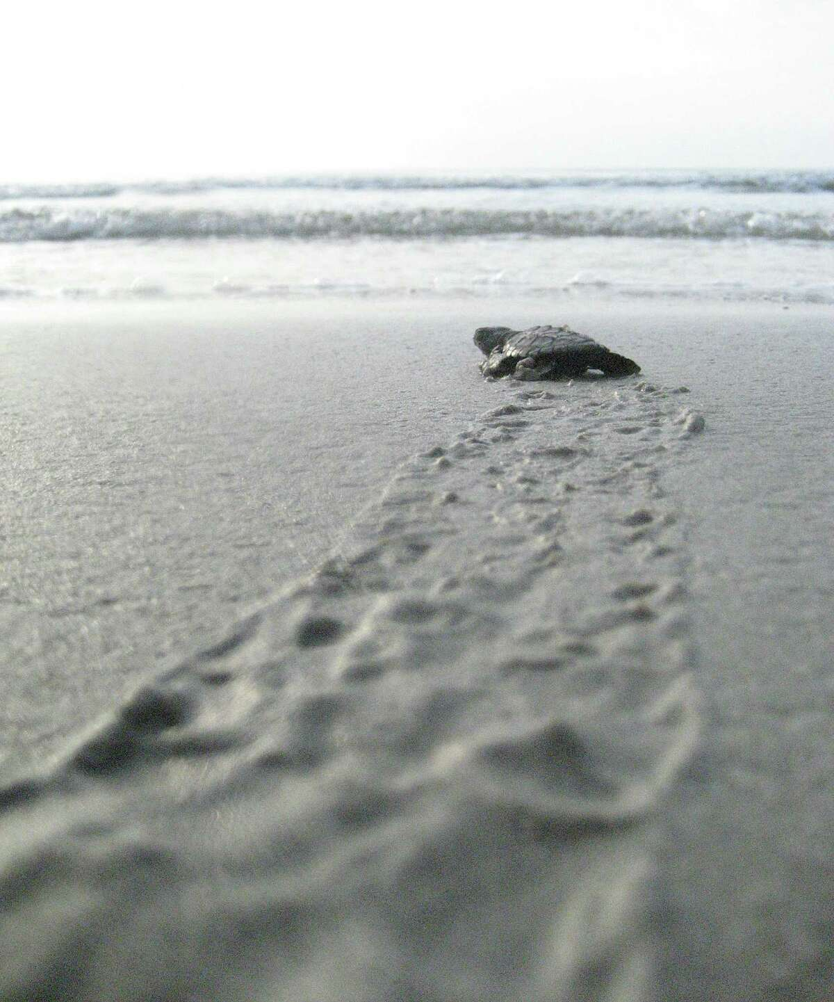 The endangered Kemp's ridley sea turtle will be placed in harm's way with the suspension of freshwater, an environmental group warned. This will diminish the turtle's primary food source, blue crabs.