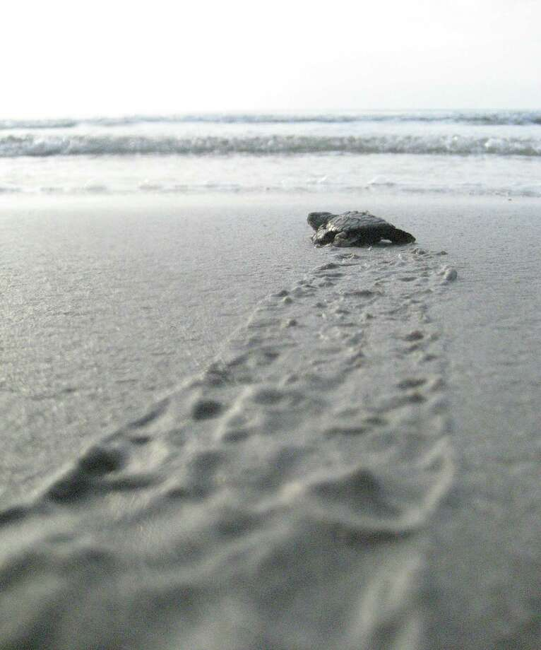 The endangered Kemp's ridley sea turtle will be placed in harm's way with the suspension of freshwater, an environmental group warned. This will diminish the turtle's primary food source, blue crabs. Photo: James Nielsen, Staff Photographer / Houston Chronicle