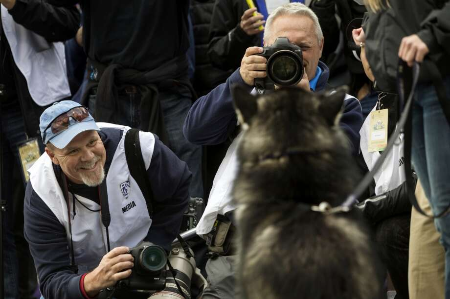 Photographers Tony Overman, left, and Dean Rutz, right, work to find a flattering angle on Dubs the Husky before a game against the Oregon Ducks Saturday, Oct. 12, 2013, at Husky Stadium in Seattle. Ducks led the Huskies 21-7 at the half. The Oregon Ducks stand at 5-0 against the Washington Huskies, 4-1, so far in the season to date. (Jordan Stead, seattlepi.com) Photo: JORDAN STEAD, SEATTLEPI.COM