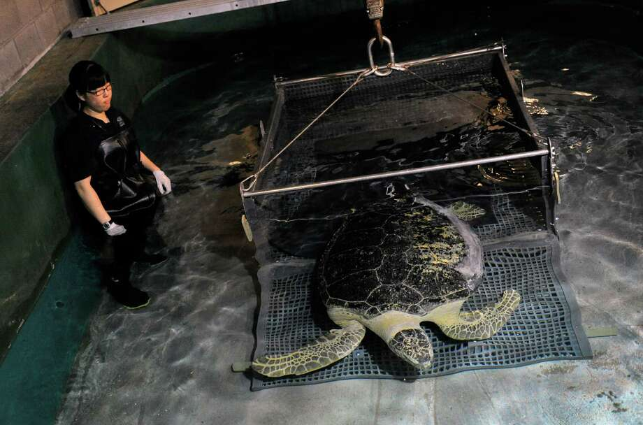 OD, a 320-pound green sea turtle is set free with the help from aquarist Stacie Lim in his new home at the Shark Reef Aquarium at the Mandalay Bay Resort and Casino on Thursday, Oct, 3, 2013. OD was captured off the Florida coast, and due to his health problems was determined that it could not live in the wild. (AP Photo/Las Vegas Review-Journal, David Becker) Photo: David Becker, AP / Las Vegas Review-Journal
