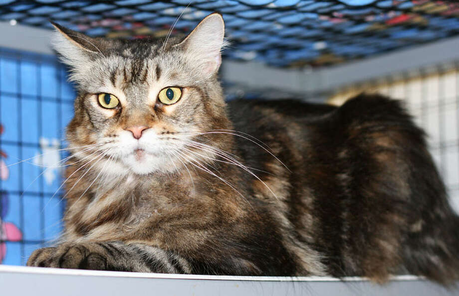 Roslyn is a beautiful Maine Coon cat with a sweet disposition. (Mary Lou Baker)