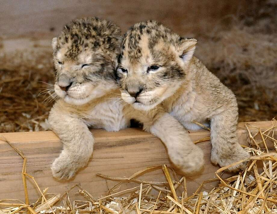 Me and my sister: The Maryland Zoo's newest bundles of fur nuzzle together in Baltimore. The lion cubs, a male and a female, lost their mother shortly after she delivered them on Oct. 3. Photo: Anonymous, Associated Press