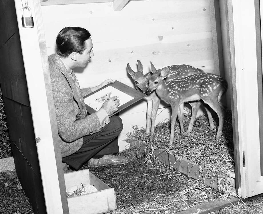 "Above: Walt Disney sketches two 12-week-old fawns that will act as the models for the hero and heroine of Disney's new production, ""Bambi,"" in Hollywood, 1938. Photo: Anonymous, AP / 1938 AP"