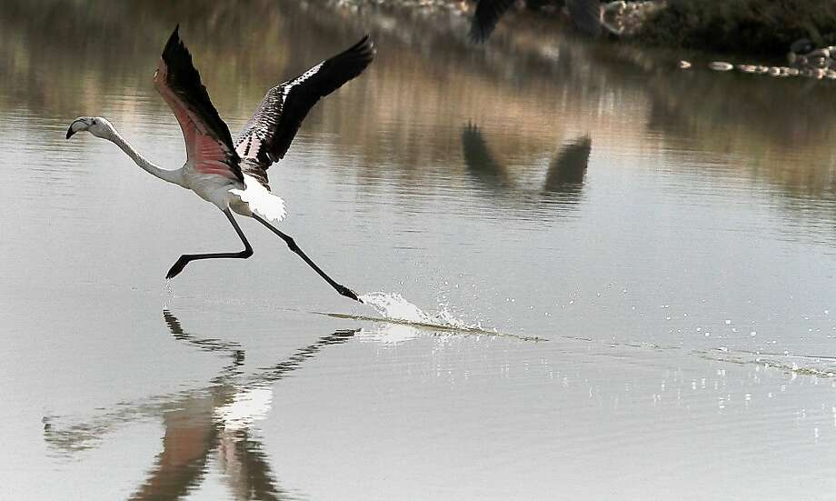 A flamingo appears to walk on water - or run on water, anyway - in a lagoon near Messolongi, Greece. Photo: Dimitri Messinis, Associated Press