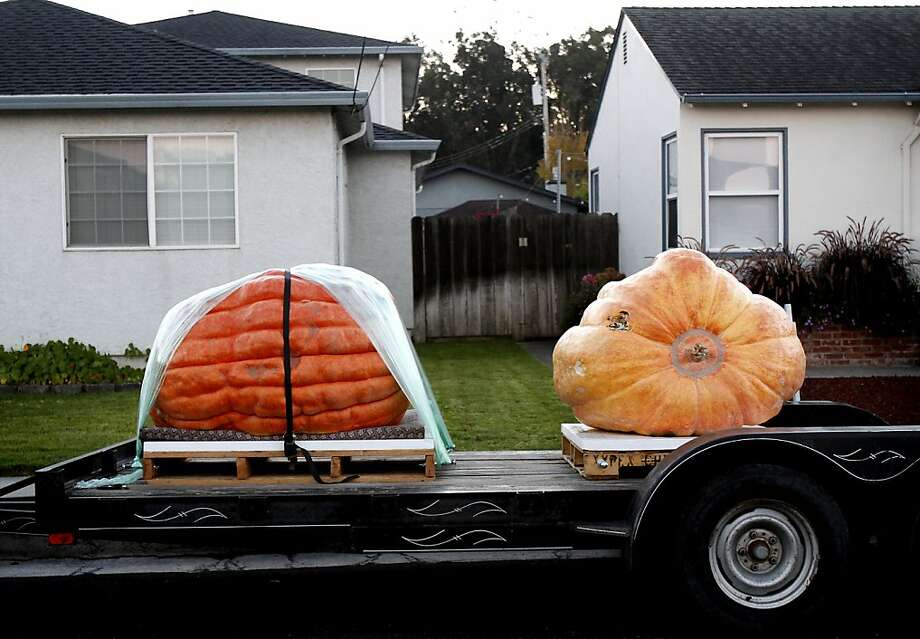 Pumpkins line the streets of the neighborhood surrounding the 40th Annual Safeway World Championship Pumpkin Weigh-Off in Half Moon Bay, Calif., on Monday, October 14, 2013.  The winning pumpkin was a 1,985-pounder grown by Gary Miller of Napa. Photo: Sarah Rice, Special To The Chronicle