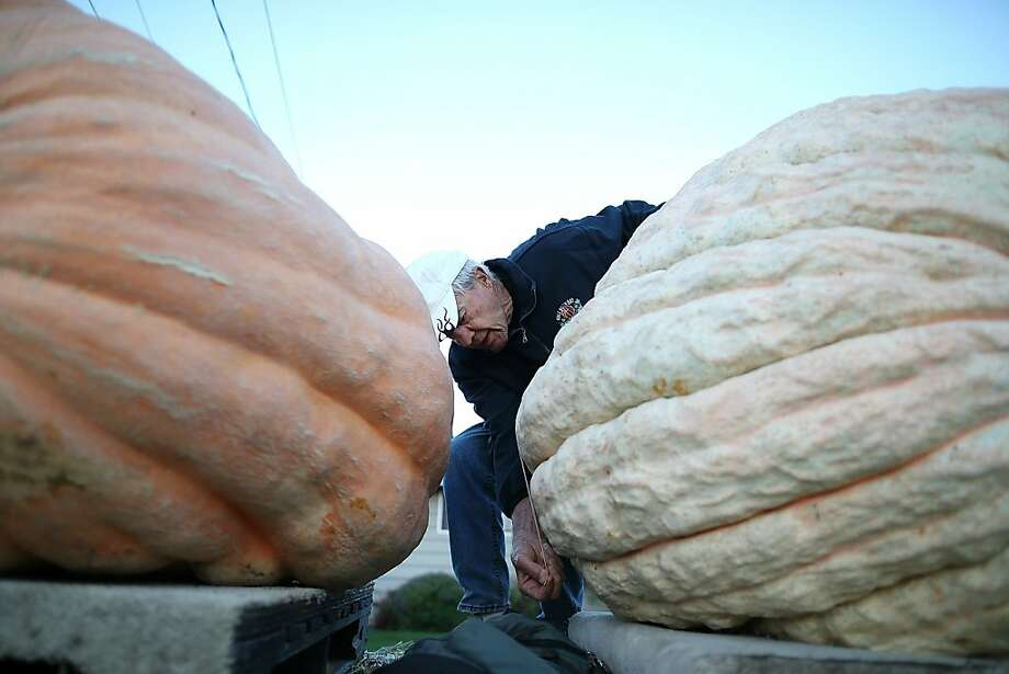 If one of these babies shifts, he'll be squashed: A contest official measures a giant pumpkin 