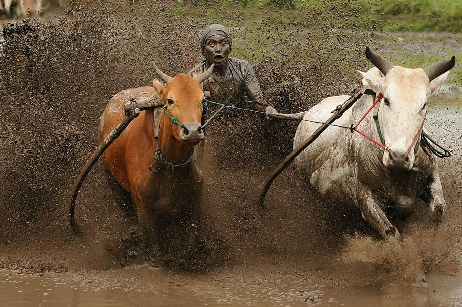 Power steering: Hanging on to the tails of his cattle while balancing on a wooden plank, a jockey drives 