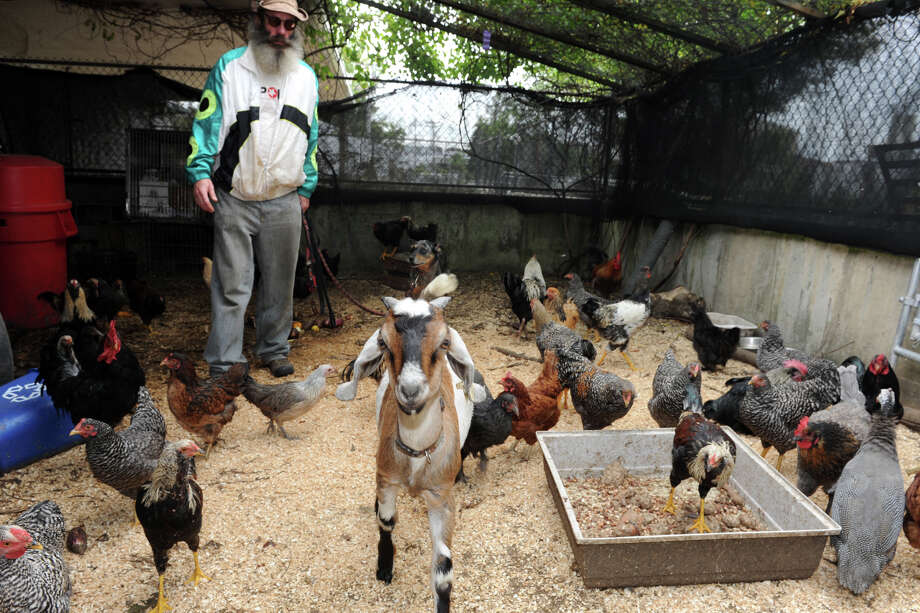 Chris Toole keeps farm animals, including chickens, goats, donkeys and a pig at the Bridgeport Animal Control property, in Bridgeport, Conn., Oct. 11, 2013. The Connecticut Department of Agriculture's Animal Control Division intends to inspect the property to see if it is appropriate. Photo: Ned Gerard / Connecticut Post