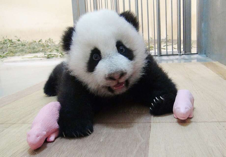 What do you give a panda cub to play with?Pink baby panda dollies! Apparently, the Taipei Zoo is not taking any chances that Yuan Zai will turn tomboy. Photo: Taipei City Zoo, AFP/Getty Images