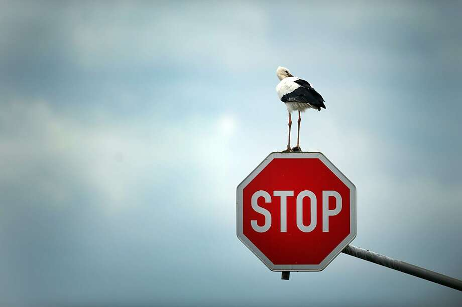 Pro-birth control message? A stork perches on a stop sign near Immerath, Germany. Photo: Federico Gambarini, AFP/Getty Images