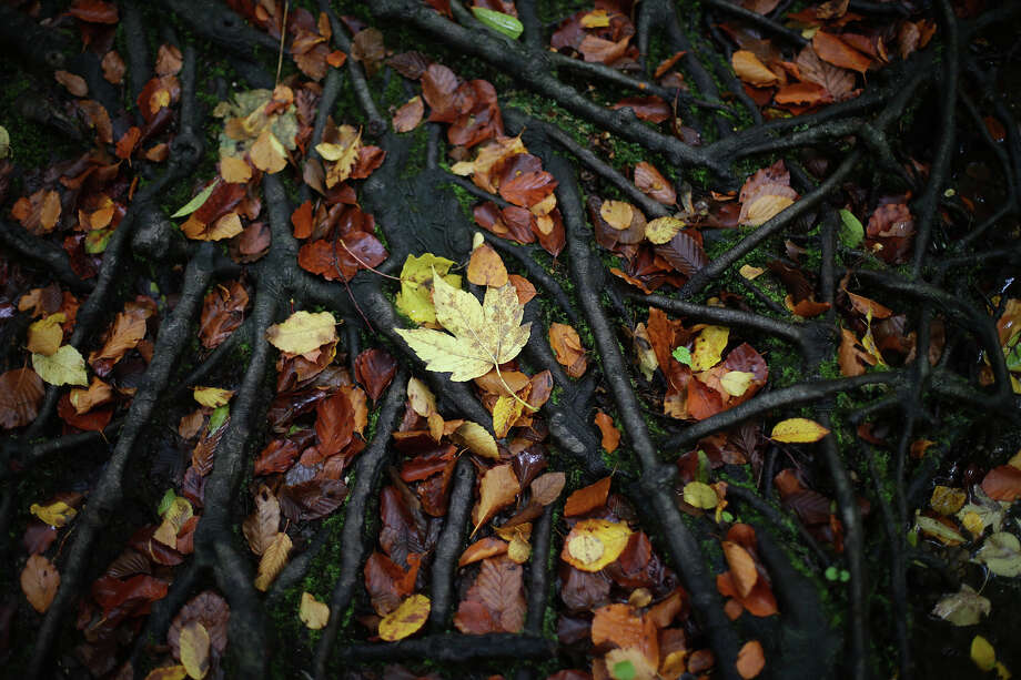 Fallen leaves in autumn colors lies on roots in Munich, southern Germany, Wednesday, Oct.16, 2013. Photo: Matthias Schrader, AP / AP