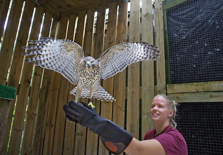 More spacious accommodations:Lindsey Day, a volunteer with the Clearwater Audubon Society, releases Taka, a   red-shouldered hawk, into its new flight cage at Moccasin Lake Nature Park in Clearwater, Fla. Photo: Jim Damaske, Associated Press