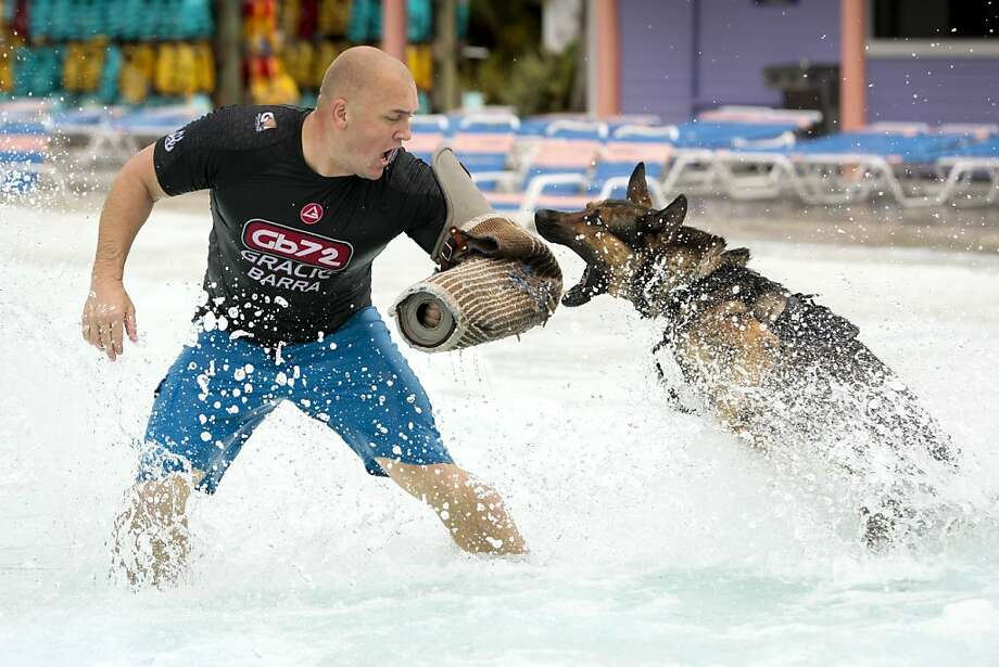 Amphibious Fido: Rick leaps to bite Officer Ryan Flannigan's protected arm during pool training at Adventure Island in Tampa Bay. The Air Force German shepherd and other K-9s were learning how to pursue and catch a fleeing suspect who has jumped into water. Photo: Will Vragovic, Associated Press