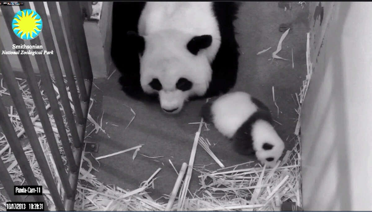 """The """"Panda Cam"""" is back following the government shutdown. The live feed was so in demand the first day back some still couldn't see the darlings. Welcome back, Mei Xiang and her cub."""