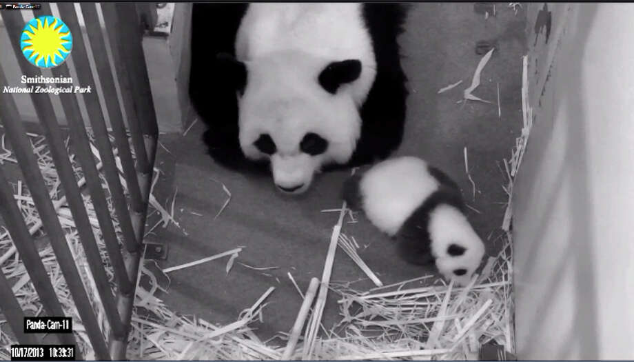 "The ""Panda Cam""is back following the government shutdown. The live feed was so in demand the first day back some still couldn't see the darlings. Welcome back, Mei Xiang and her cub. Photo: Smithsonian"