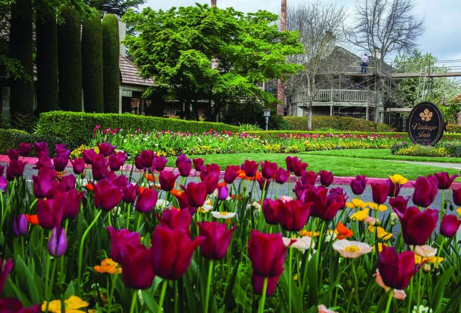 Red tulips bloom in the garden in front of the Vintage Inn in Yountville. Photo: Steve Haggerty, MCT