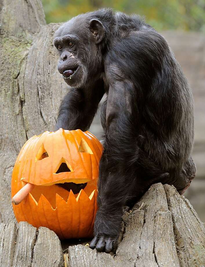 Close, but no cigar:Schika searches the inside of a jack-o'-lantern for a carrot at the Hanover Zoo in Germany. Photo: Holger Hollemann, AFP/Getty Images