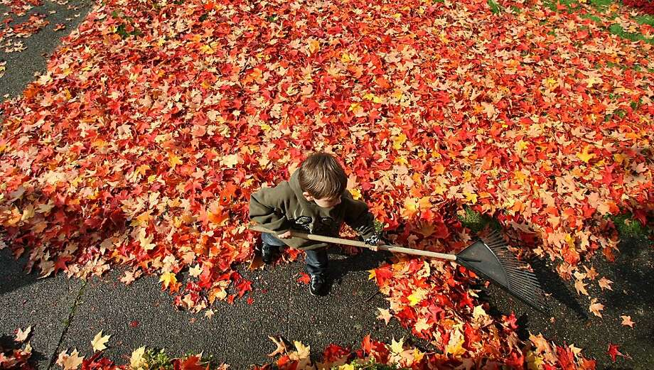 The main perk of the job: Six-year-old Gunnar Orr helps his neighbor rake maple leaves in Bremerton, Wash., so he can have a pile to jump in. Photo: Larry Steagall, Associated Press