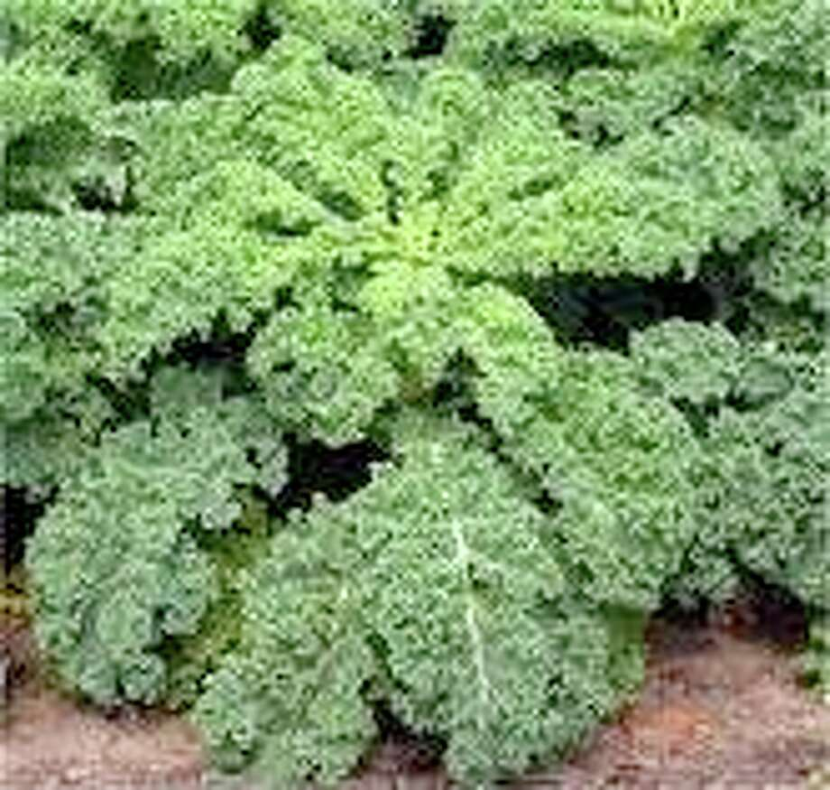 Winterbor kale provides texture and bulk in a salad. Pull off the outside leaves and the plant keeps growing for harvests November through May or later, if kept watered and fertilized. Cut into thin ribbons for adding to salad.