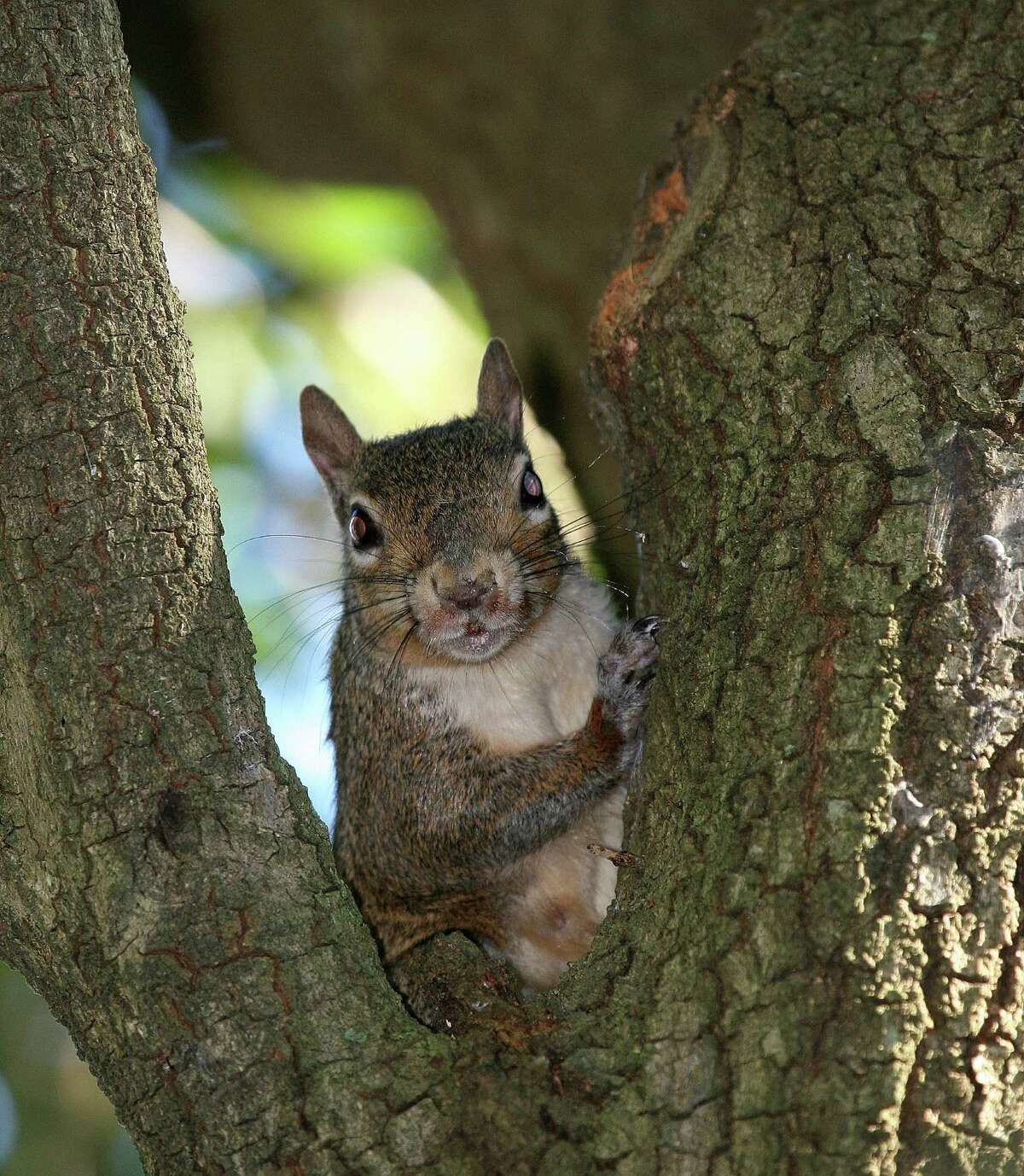 Texas In Texas, there are three types of squirrel. The Eastern gray squirrel can be 16 inches in length and weigh 1 pound.