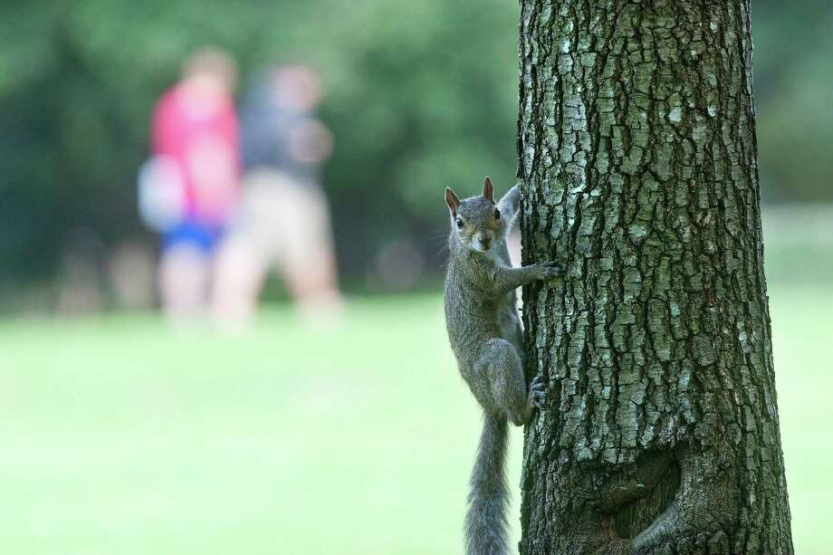 "A squirrel hangs on a tree on the Rice University campus Tuesday, Oct. 15, 2013, in Houston. Rice was named one of top ""Colleges Most Obsessed With Squirrels"" in the Huffington Post. Photo: Johnny Hanson, Houston Chronicle / Houston Chronicle"