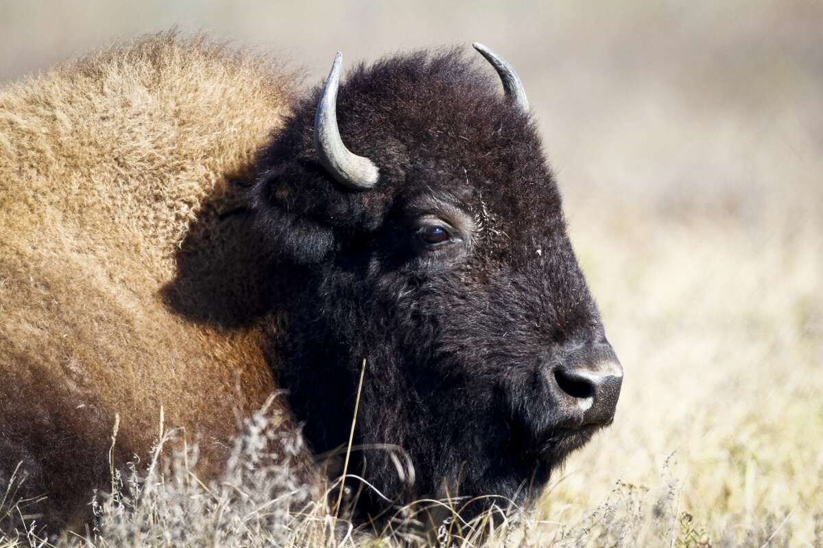 GALLERY:Facts about bison Range At the height of its population, the American bison (Bison bison) ranged from the Northeast to the West, from the Gulf Coast to Alaska, including all of Texas. Its principal habitat was the Great Plains, where herds numbering in the millions could be found.