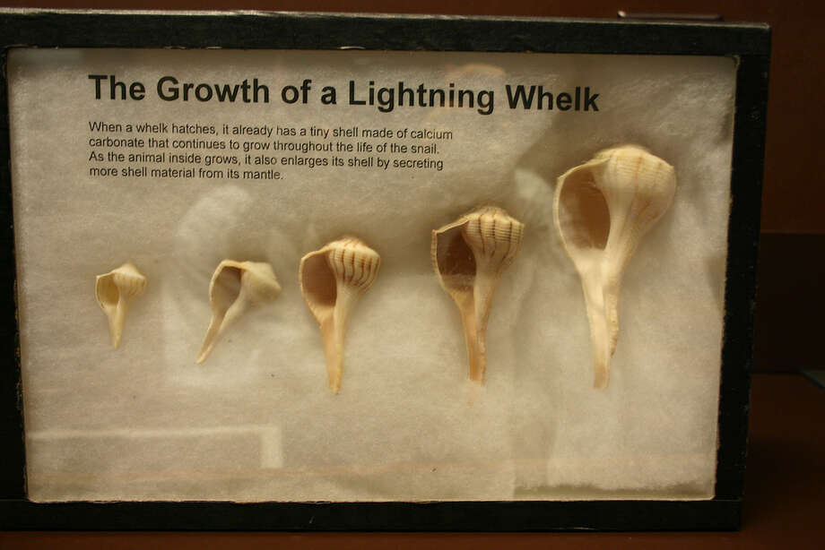 The  lightning whelk is the official state shell. They are not found in Houston.  The lightning whelk was deemed the state shell in 1987. It is found only in the Gulf of Mexico and Southeast Atlantic coast. The whelk can grow up to 1 foot in length and unlike other shells, opens to the left.   Picture courtesy of  Ryan Somma/Flickr