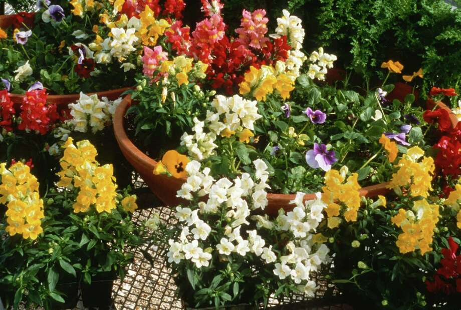Snapdragons bloom in a variety of colors, offering a varied bouquet for the fall and winter garden. Photo: National Garden Bureau