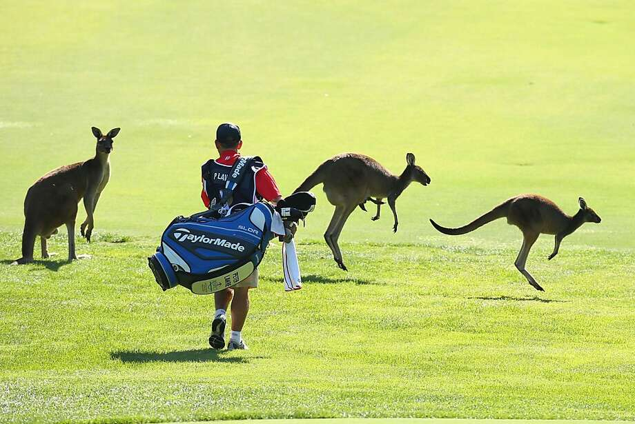 Mind if we hop through? After several sunny days, the 6th fairway of the Perth International course at Lake Karrinyup Country Club has a lot of bounce. (Perth, Australia.) Photo: Paul Kane, Getty Images