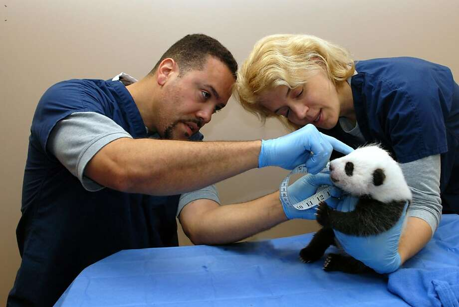 Hey! Keeping poking me like that and I'll get a black eye: See, I told you. (Panda checkup, Smithsonian's National Zoo in Washington.) Photo: Courtney Janney, Getty Images