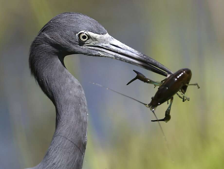 Wait! What if I grant you three wishes? A little blue heron prepares to eat a crayfish it caught in the Shark Valley section of Everglades National Park. Photo: Wilfredo Lee, Associated Press