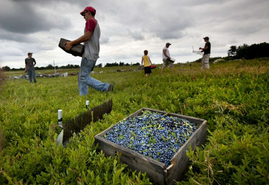 Maine: Workers harvest wild blueberries at the Ridgeberry Farm in Appleton, Maine. Maine's wild blueberry growers for the most part escaped widespread damage from a harmful new fruit fly during the 2013 summer harvest, resulting in what is expected to be an above-average crop. Photo: Robert F. Bukaty, Associated Press