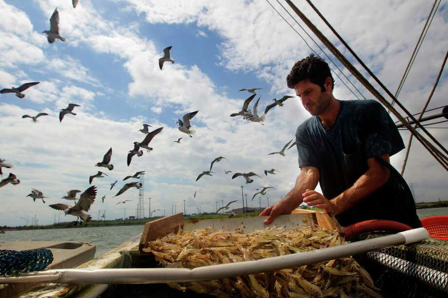 Eric Leshinsky with Discovery Shrimp & Oyster Company sorts through a catch while shrimping near the Houston Ship Channel, Friday, Sept. 27, 2013, in Kemah. Eric is an artist and he, along with friend Zach Moser who is also an artist, bought a shrimp boat to shrimp the area for a better understanding of the Gulf Coast. The two plan to make art pieces from their observations. (Cody Duty / Houston Chronicle) Photo: Cody Duty, Staff / © 2013 Houston Chronicle