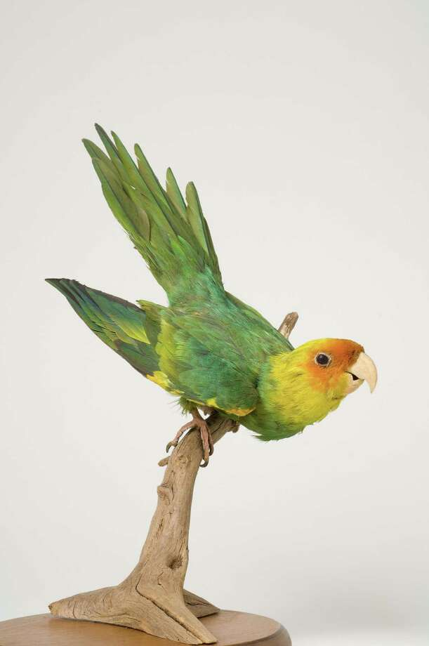 The Carolina parakeet, the only parrot once native to the eastern United States, has been extinct since the 1920s. Photo: Contributed Photo / Greenwich Time contributed