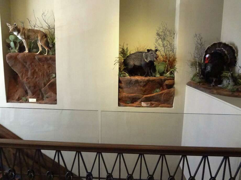 "Wall niches along ""the grand staircase"" hold taxidermied Texas animals. Photo: San Antonio Express-News"