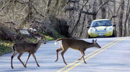Deer scamper across a Stamford street in front of traffic. According to the state Department of Energy and Environmental Protection, nearly 20 percent of all deer road kills in the state occur in November. From October to January, it's 50 percent.