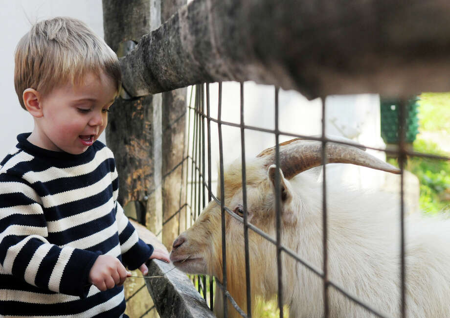 Owen Troup, 2, feeds a goat at the Stamford Museum and Nature Center's Annual Harvest Festival Weekend in Stamford, Conn., Oct. 20, 2013. Photo: Keelin Daly / Stamford Advocate Freelance