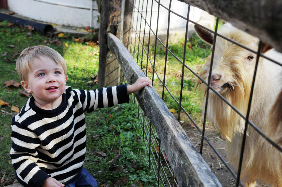 Owen Troup, 2, visits a goat at the Stamford Museum and Nature Center's Annual Harvest Festival Weekend in Stamford, Conn., Oct. 20, 2013. Photo: Keelin Daly / Stamford Advocate Freelance