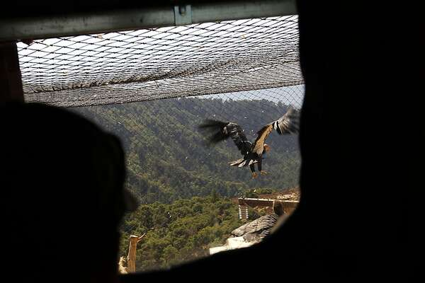 Scientists fight to save condors from lead bullets