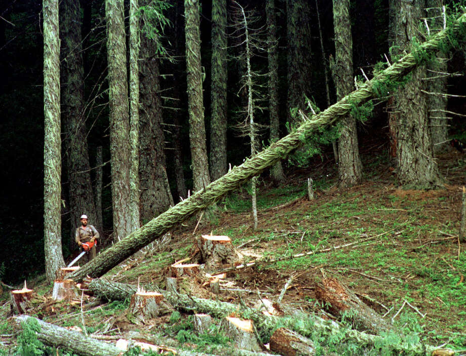 This undated file photo shows a logger falling a large tree on the Umpqua National Forest near Oakridge, Ore. A federal judge  issued a court order on Oct. 17, 2013 allowing loggers to immediately resume work in national forests as the U.S. Forest Service began lifting a logging ban prompted by the government shutdown. Photo: DON RYAN, AP / AP