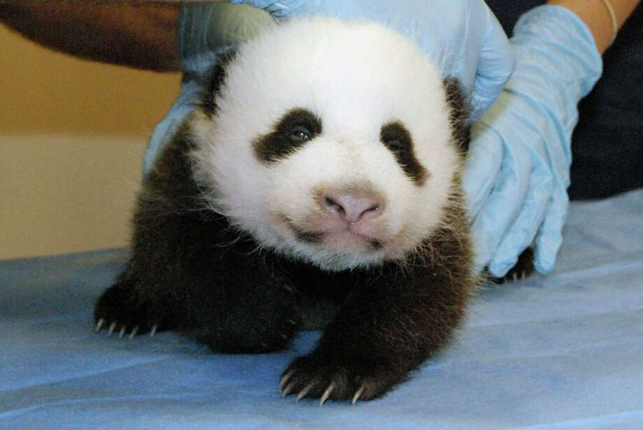 This photo provided by the Smithsonian's National Zoo shows Mei Xiang's giant panda cub undergoing an exam on Oct. 11, 2013, at the zoo in Washington. The zoo was set to reopen on Friday, though the popular panda cam went live on Thursday morning, Oct. 17. By Oct, 11 exam, the cub had both her eyes partially open and she now is reacting to the noises she hears in the panda house. Photo: Bill Clements, AP / AP2013