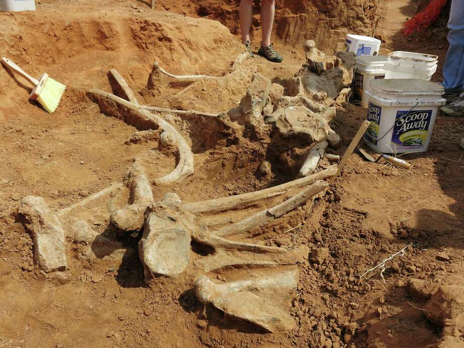 This handout provided by Oklahoma State University shows the remains of a prehistoric mammoth found near Enid, Okla. The remains were discovered by Access Midstream workers who were installing a high-pressure natural gas line. Photo: AP / Oklahoma State University