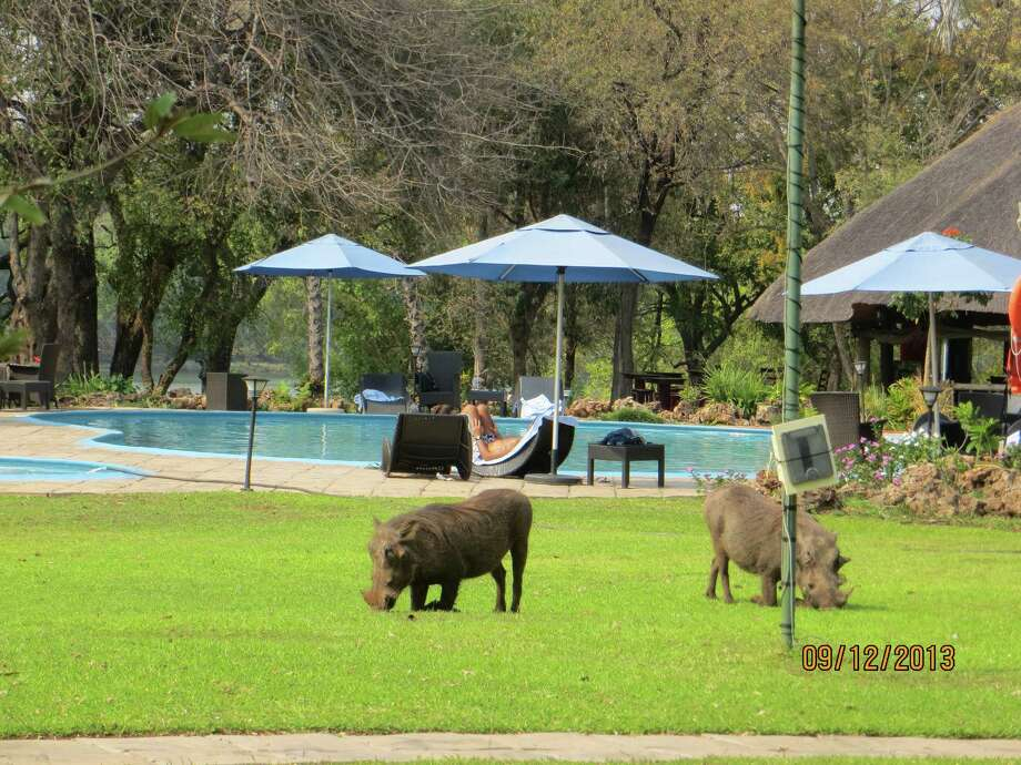 "The warthogs were just part of the scenery when Marggie Skinner of Albany stayed at this lodge on the Zambezi River in Victoria Falls, Zimbabwe.""When they worked their way to the front of the swimming pool, the picture became irresistible,"" she said. (Marggie Skinner)"
